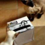 Любимая игрушка – коробка из-под обуви, в которой прорезаны окошечки по размеру лапы кошки