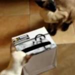 Любимая игрушка — коробка из-под обуви, в которой прорезаны окошечки по размеру лапы кошки
