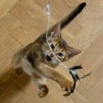 Шесть способов развлечь кошку