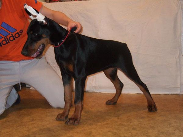 Почему купировать хвост и уши собакам – это плохо