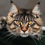 Порода кошек Мейн-кун: экстерьер, характер, уход