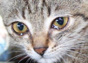 Глазные болезни у кошек