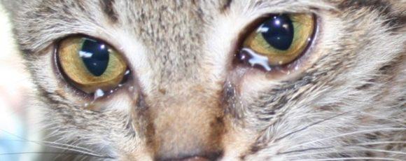 Глазные болезни у кошек — виды и особенности протекания