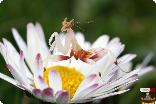 Богомолы маскируются под цветки
