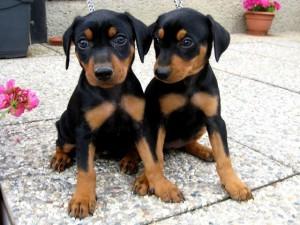 Выбираем собаку для городской квартиры: возраст, необходимые качества, порода