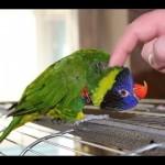 Как ухаживать за домашним попугаем