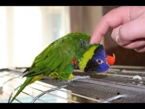 Несколько простых советов как ухаживать за домашним попугаем