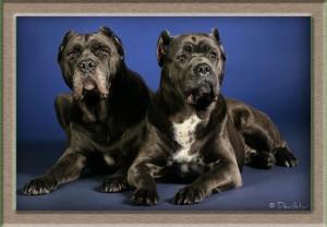 Почему купировать хвост и уши собакам - это плохо?