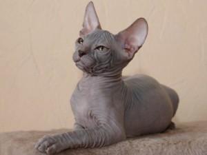 Как ухаживать за кошкой-сфинксом?
