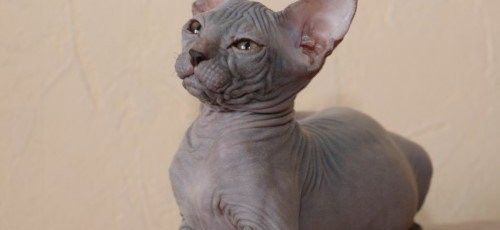 Как ухаживать за кошкой-сфинксом