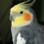 Особенности ухода и содержания попугая Корелла