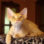 Породы кошек. Девон-рекс
