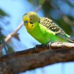 Как приручить волнистого попугая и научить говорить