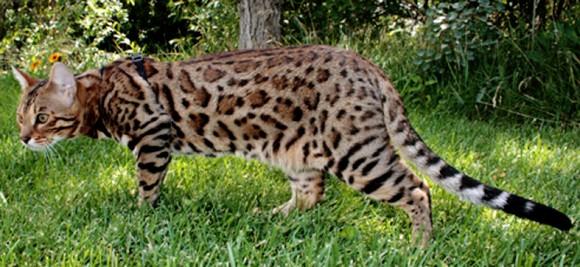 История появления Бенгальских кошек