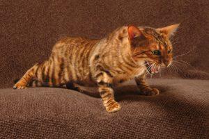 Тойгер – игрушечный тигрёнок
