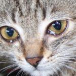Глазные болезни у кошек: виды и особенности протекания